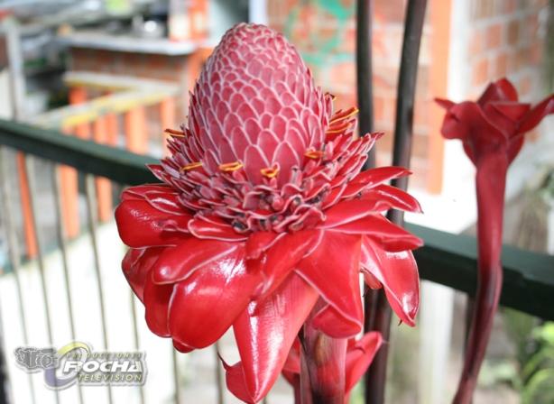flor amazonica